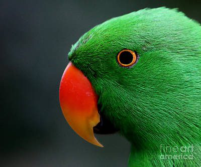 Painting - Beautiful Eclectus Parrot by Sue Harper