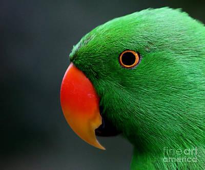 Beautiful Eclectus Parrot Art Print