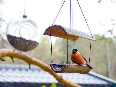 Photograph - Beautiful Eurasian Bullfinch by Tamara Sushko