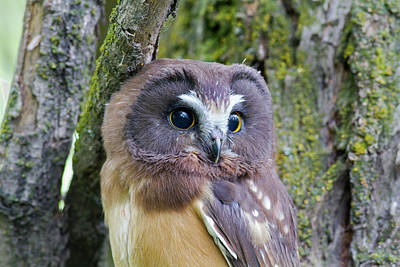 Photograph - Beautiful Eyes Of A Saw-whet Owl Chick by Mark Miller