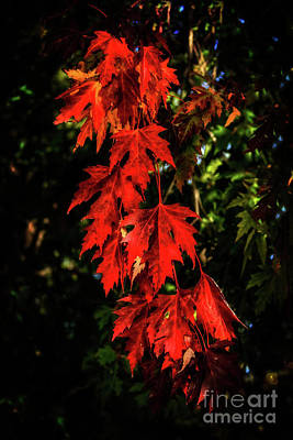 Photograph - Beautiful Fall Maple Leaves by Robert Bales