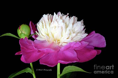 Beautiful Fancy Peony Art Print by Jeannie Rhode