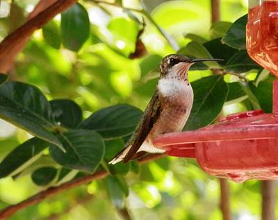 Photograph - Beautiful Female Hummingbird  Francesca by Belinda Lee
