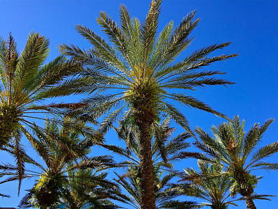 Photograph - Beautiful Florida Palm Trees by Denise Mazzocco