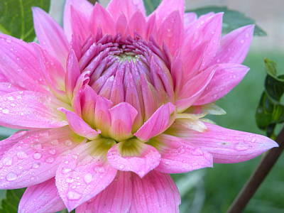 Raindrops On Flowers Photograph - Beautiful Flower In Daybreak by Christine Belt