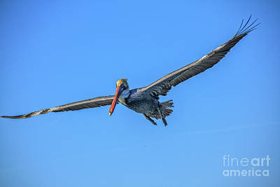 Photograph - Beautiful Flying Pelican by Robert Bales