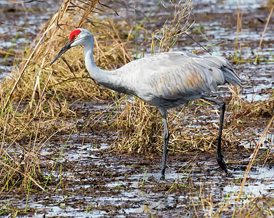 Photograph - Beautiful Day For A Walk -sandhill Crane   by Ricky L Jones