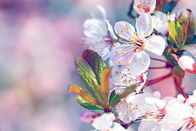 Photograph - Beautiful Fruit Tree Blooming by Anna Om