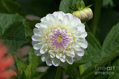 Photograph - Beautiful Gaylen Rose Dahlia by Glenn Franco Simmons