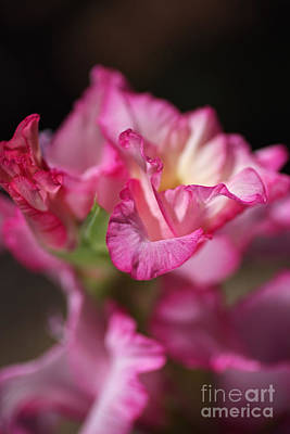 Photograph - Beautiful Gladiolus In Flower Petals by Joy Watson