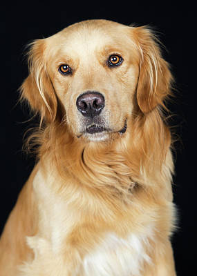 Photograph - Beautiful Golden Retriever Dog Closeup by Susan Schmitz