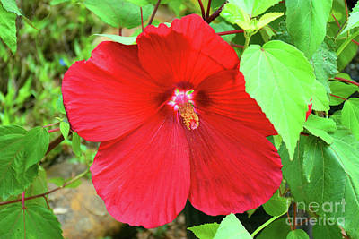 Photograph - Beautiful Grande Hibiscus by Ray Shrewsberry