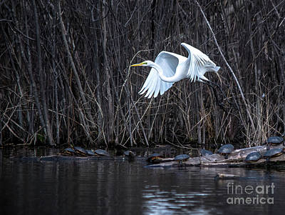 Photograph - Beautiful Great White Egret by Cheryl Baxter