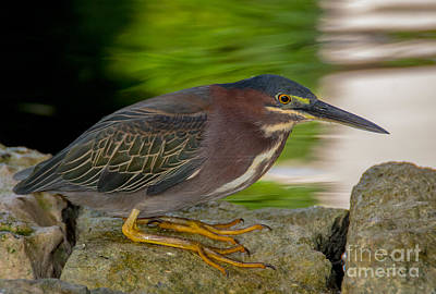 Photograph - Beautiful Green Heron by Cheryl Baxter