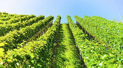 Sky Photograph - Beautiful Green Vineyard On A Small Hill And Blue Sky by Wall Art Prints