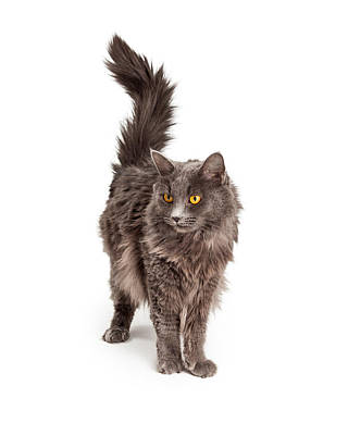 Animals Royalty-Free and Rights-Managed Images - Beautiful Grey Color Long Hair Cat by Susan Schmitz