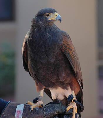 Pop Art - Beautiful Hawk at the Desert Museum by Teresa Stallings
