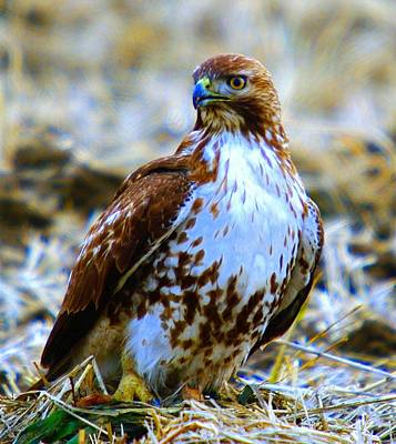 Animals Photos - Beautiful Hawk by Jeff Swan