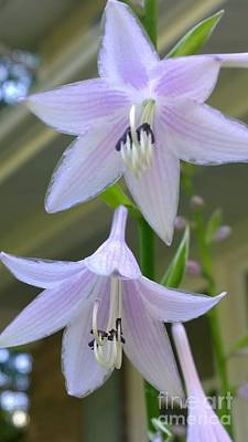 Photograph - Beautiful Hosta Blooms  by Jennifer E Doll
