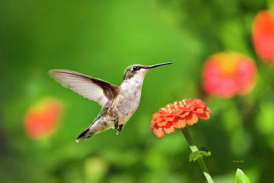 Photograph - Beautiful Hummingbird by Christina Rollo