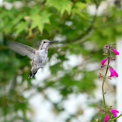 Photograph - Beautiful Hummingbird by Rebecca Cozart