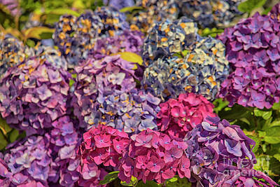 Photograph - Beautiful Hydrangea  by Patricia Hofmeester