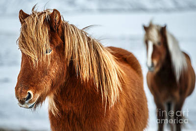 Photograph - Beautiful Icelandic Horses by Anna Om