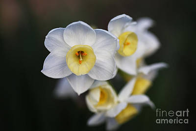 Photograph - Beautiful In White Jonquil Flowers by Joy Watson