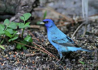 Bunting Photograph - Beautiful Indigo Bunting by Sabrina L Ryan