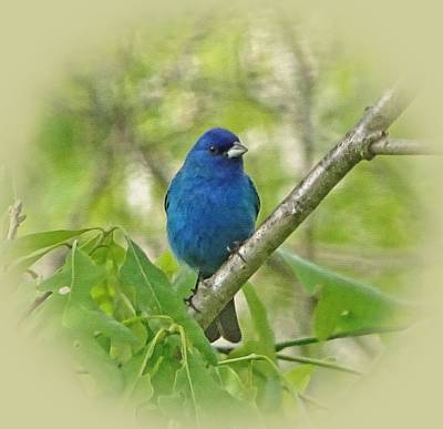 Photograph - Beautiful Indigo Bunting by Sandy Keeton