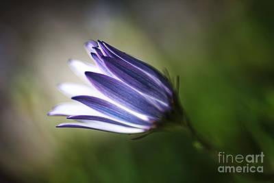 Photograph - Beautiful Inner Glow Of The Daisy by Joy Watson