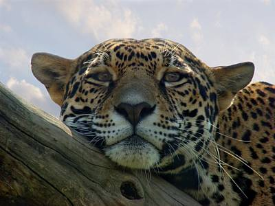 Jaguar Art Photograph - Beautiful Jaguar by Sandy Keeton