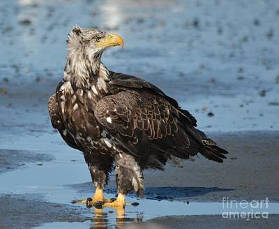 Photograph - Beautiful Juvenile Eagle  by Patricia Twardzik