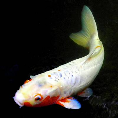 Photograph - Beautiful Koi Fish by Kirsten Giving