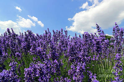 Photograph - Beautiful Lavender by Julia Gavin