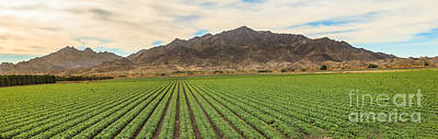 Romaine Lettuce Photograph - Beautiful Lettuce Field by Robert Bales