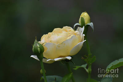 Photograph - Beautiful Light Yellow Rose In The Spring by DejaVu Designs