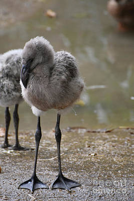 Photograph - Beautiful Little Baby Flamingos With Fluffy Feathers  by DejaVu Designs