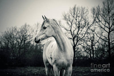 Photograph - Beautiful Lonely White Horse IIi by Dimitar Hristov