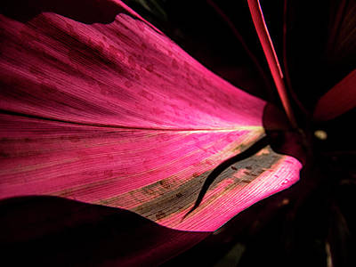 Photograph - Beautiful Magenta Leaf by Bob Slitzan