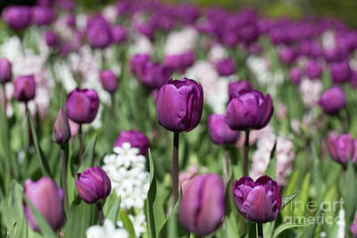 Spring Bulbs Photograph - Beautiful Magenta Tulips In Spring by Louise Heusinkveld