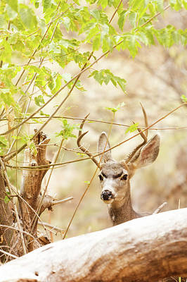 Mule Deer Buck Photograph - Beautiful Male Mule Deer In Woods by Susan Schmitz