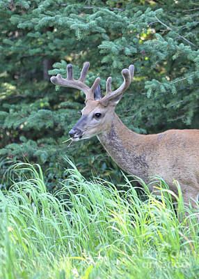 Canadian Wildlife Photograph - Beautiful Mule Deer by Carol Groenen