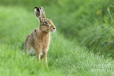 European Hare Wall Art - Photograph - Beautiful Norfolk Wild Hare Sat On Grass by Simon Bratt Photography LRPS