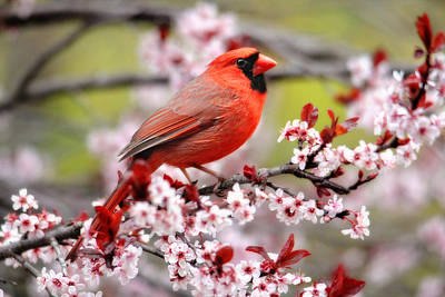 Beautiful Northern Cardinal Art Print