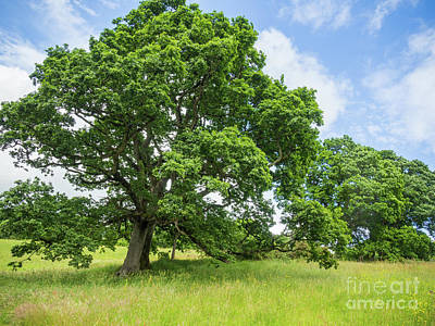 Photograph - Beautiful Oak Tree On A Sunny Day by Ciaran Craig
