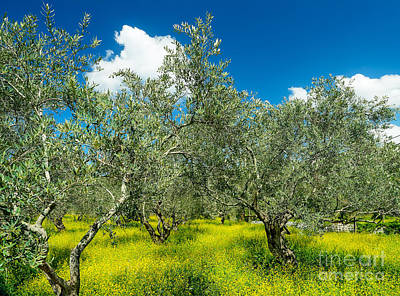 Photograph - Beautiful Olives Garden by Anna Om