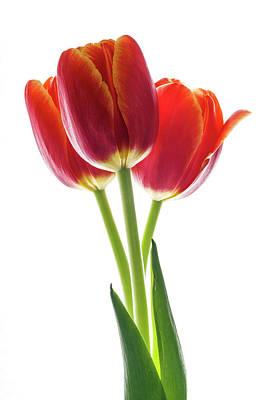 Beautiful Orange Tulips On White Art Print by Vishwanath Bhat