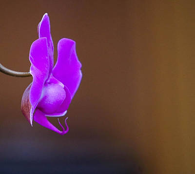 Golden Pink Orchid Photograph - Beautiful Orchid  by Nina Pilgrim