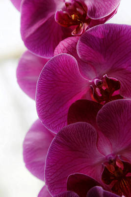 Photograph - Beautiful Orchids by Michael Hope